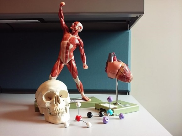 anatomical models 2
